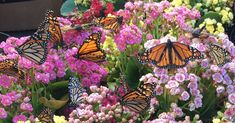 Planning a spring garden? Why not grow a butterfly garden? A butterfly expert and enthusiast gives us tips and four plants you might want to pick up. Garden Bugs, Garden Pests, Hydroponic Gardening, Organic Gardening, Butterfly Exhibit, Butterfly Pea Flower, Butterfly Park, Inexpensive Landscaping, Landscaping Ideas