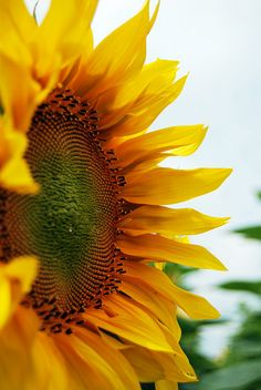 Can't wait for my Sunflower' s to bloom:-) Sunflowers And Daisies, Yellow Flowers, Sun Flowers, Flowers Garden, Wildflowers, Sunflower Flower, My Flower, Yellow Sunflower, Giant Sunflower