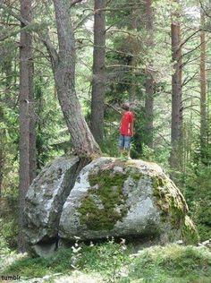 바위를 깬 나무