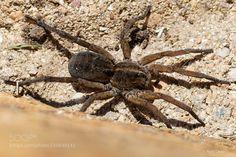 Wolf Spider by Zantash. @go4fotos