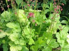 We grow Heucheras and their chums down in the New Forest UK. Rock Garden Plants, Cottage Garden Plants, Shade Garden, Coral Bells Heuchera, Muscat, New Forest, The Hamptons, Heaven, Herbs