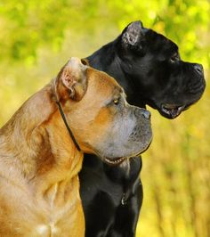 Discover The Loving Big Mastiffs And Kids Cane Corso Rescue, Cane Corso Kennel, Cane Corso Mastiff, Cane Corso Dog, Cane Corso Puppies, Giant Dog Breeds, Giant Dogs, Italian Mastiff Dog, Chien Cane Corso