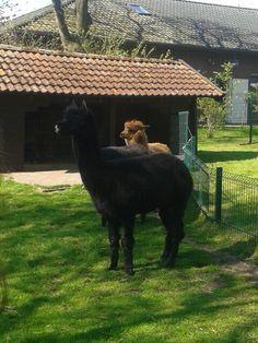 Lamas und Ziegen Streichelgehege