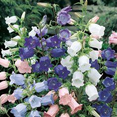 Marien-Glockenblume Glockenspiel - 2-jährige Blumen