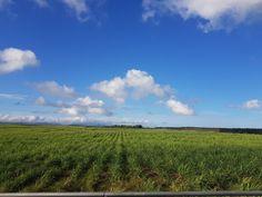 Sugar cane fields around Goodlands