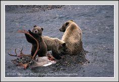 Grizzly bear family, sow and cubs, caribou kill, Denali, Alaska. Grizzly Bear cub, with family, on Caribou carcass. Denali National Park, Alaska, Ursus arctos.