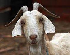 goats - Google Search