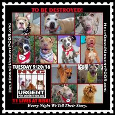 "11 BEAUTIFUL LIVES TO BE DESTROYED 09/20/16 @ NYC ACC. ***SO MANY DOGS HAVE BEEN KILLED LATELY*** This is a HIGH KILL ""CARE CENTER"". Please Share: To rescue a Death Row Dog, Please read this:http://information.urgentpodr.org/adoption-info-and-list-of-rescues/ To view the full album, please click here: http://nycdogs.urgentpodr.org/tbd-dogs-page/"