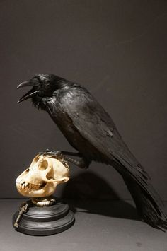 Made To Order....Antique Taxidermy European Raven Monkey Skull Victorian Display