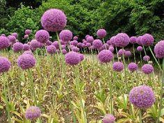 L'ail d'ornement : Facile à cultiver, lail dornement se plante en automne et fleurit au printemps ou en été. Chacune de ses inflorescences en forme de sphère est composée de plusieurs dizaines de petites fleurs de couleur mauve, jaune, blanche ou rose selon les variétés.
