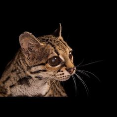photo by @joelsartore | Meet Carlotta a margay at the @cincinnatizoo who is featured in this months NatGeo magazine. Margays have special joints in their back legs that rotate 180 degrees making it possible for them to run headfirst down trees! Check out my feed (@joelsartore) for more cool animals. #photoark #joelsartore #photooftheday by natgeo