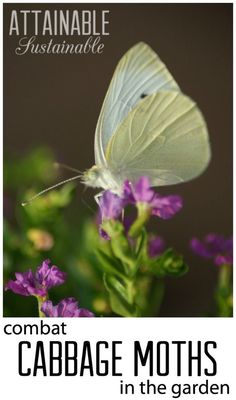 Damage from cabbage moths can decimate a garden quickly. Here are some ideas for combatting them in the garden. Natural pest control!