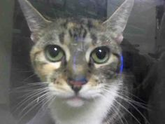 TO BE DESTROYED 5/9/14 ** There's no question, Jaba does not like being in the shelter. She's a beautiful young girl who deserves a chance at life- will you give her that chance tonight? ** Manhattan Center  My name is JABA. My Animal ID # is A0998565. I am a female calico and white domestic sh mix. The shelter thinks I am about 2 YEARS  I came in the shelter as a STRAY on 05/03/2014 from NY 10472