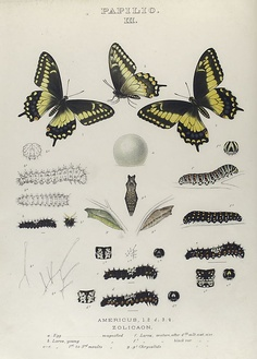 Collection of antique butterfly prints from the New York Public Library Digital Gallery