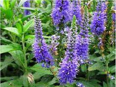 Resultado de imagen de planta veronica azul