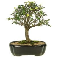 Bonsai Ulmus 06 anos - Ideal Bonsai