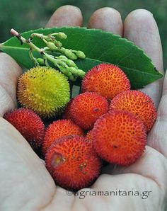 Arbutus Unedo, Shrubs, Home And Garden, Healing, Weight Loss, Fruit, Drinks, Gardening, Decor