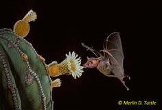 Adorable portraits of pollen-covered #bats taken by the world's leading bat expert, Merlin Tuttle. #photography
