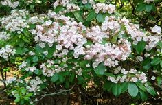 mountain laurel plant facts - Google Search
