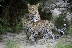 Best places to see leopards in the wild. The elusive leopard has to be Africa's most alluring big cat did you know there are larger populations of Africa African Animals, Leopards, Wildlife Photography, Wilderness, Places To See, Safari, Good Things, Nature Photography