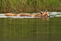 Photograph Swimming Fox by Roeselien Raimond on 500px