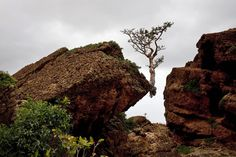 A tree in the mountains of Socotra, off the coast of Yemen. Photo by Catalina Martin-Chico?Cosmos.