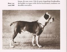 """This old picture of a #boxer shows how close relatives #pitbulls and boxers have been. """"craven desires: dog breed history lesson: the boxer"""""""