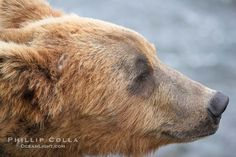 Brown bear head profile. Brooks River, Katmai National Park, Alaska, USA, Ursus arctos, natural history stock photograph, photo id 17259