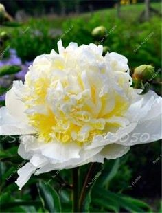 10 Pcs Peony Seeds,Climbing Peony Flower Seed,Paeonia Suffruticosa ColIndoor Bonsai Seed for Home Garden Decoration Potted Plant