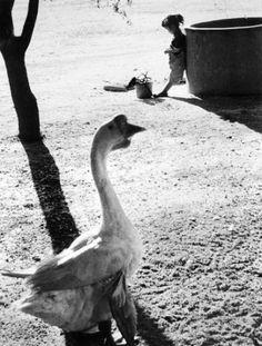사진작가 이형록( 李亨祿)의 작품을 통해 본 그때 그시절 : 네이버 블로그 Korean Photography, Animals, Photographers, Pictures, Monochrome, Animales, Animaux, Animal, Animais