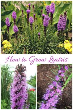 Tips for growing liatris (also called Blazing Star.) This pretty perennial bulb flowers in mid summer with a blast of purple that attracts bees and butterflies. Cottage Garden Plants, Garden Bulbs, Garden Shrubs, Planting Bulbs, Landscaping Plants, Landscaping Ideas, Meadow Garden, Fence Garden, Outdoor Landscaping