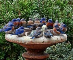 a conflagration of robins in a bird bath