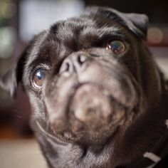 #pugwellnesswednesday has arrived!  We are kicking off #pugwellnesswednesday with some info on caring for your pug's wrinkles.  Cleaning your pug's wrinkles is so important because moisture loose hair dirt and debris can get caught in them. And if let to build up it will cause an infection in their folds. Nobody wants that. So what signs will your pug show that their wrinkles are irritated? They will rub their face on any surface they can from furniture to their paws and even the carpet…