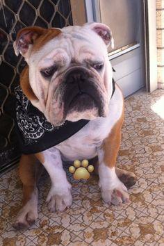My bulldog Winston! Love him xo