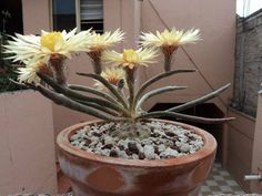 How For Making Your Landscape Search Excellent Astrophytum Caput Medusae Cacti And Succulents, Planting Succulents, Cactus Plants, Planting Flowers, Agaves, Unusual Plants, Rare Plants, Exotic Plants, Cactus Blossoms