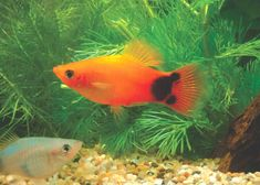 Sunset Mickey Mouse Platy. Great Mickey Mouse Platy because of the defined Mickey Mouse near tail.