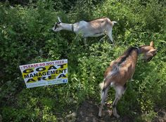 #goatvetoz like this article about goats are being used for clearing poison ivy and other weeds in USA
