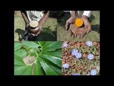 Medicinal Rice P5O Formulations for Rhynchelytrum Excess: Pankaj Oudhia'...