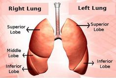 Lobes of the Lungs: An Explanation of Their Location and Structure Lung Anatomy, Anatomy And Physiology, Respiratory System Anatomy, Nursing Tips, Nclex, Med School, Radiology, Student Life, Lungs