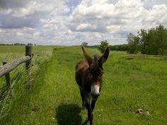 Fellow-cleanser's donkey, Nickel