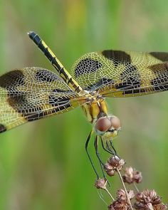 Happy Dragonfly Thursday !!!
