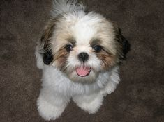 shiz tzu puppies | The Shih Tzu, another China originated dog breed, puppy male and ...