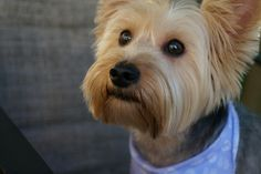 Silky Terrier that looks like her first dog, Gizmo :) Terrier Dogs, Terriers, Pet Psychic, Silky Terrier, Yorkies, Baby Dogs, Shiba Inu, Dachshunds, Yorkshire Terrier