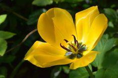 Keltainen tulppaani | Vesan viherpiperryskuvat – puutarha kukkii