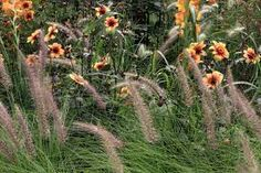 Afbeeldingsresultaat voor verbena bonariensis combineren met pennisetum