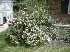PlantFiles Pictures: Polyantha Rose, Shrub Rose, Earth Kind™ 'The Fairy' (Rosa) 31 by Prism
