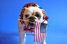 Mr. Porkchop shows his American spirit, how will you?