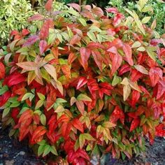 Nandina. We have many. Hearty Plant that goes from a gorgeous chartruese green to a fiery red. Good to know: don't trim until 2-3 years of growth.
