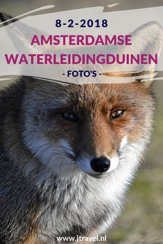 In februari 2018 maakte ik opnieuw een wandeling in de Amsterdamse Waterleidingduinen. Ik liep vanaf de ingang Panneland en ging opnieuw op zoek naar vossen. Ik heb deze dag verschillende vossen en vogels gespot en genoot van de schitterende natuur. Kijk je mee wat ik allemaal zag? #awd #amsterdamsewaterleidingduinen #vos #vossen #vogels #wandelen #hiken #natuur #jtravel #jtravelblog #fotos