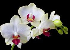 b358e20d0d White Orchids Greeting Card for Sale by Garry Gay